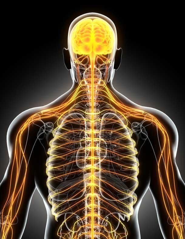 Der menschliche Körper - Osteopathie